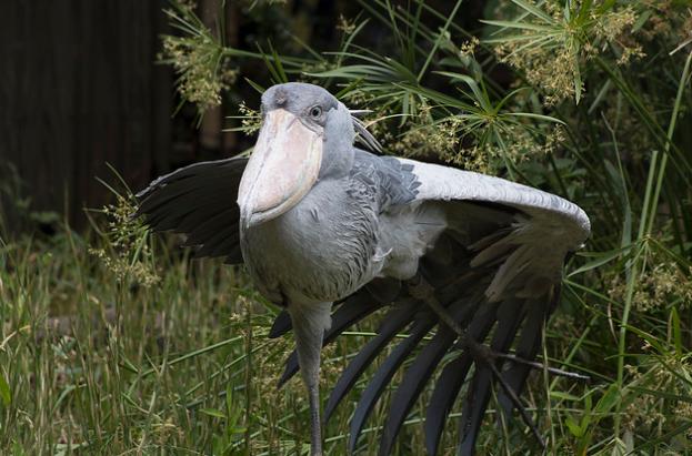 shoebill stork