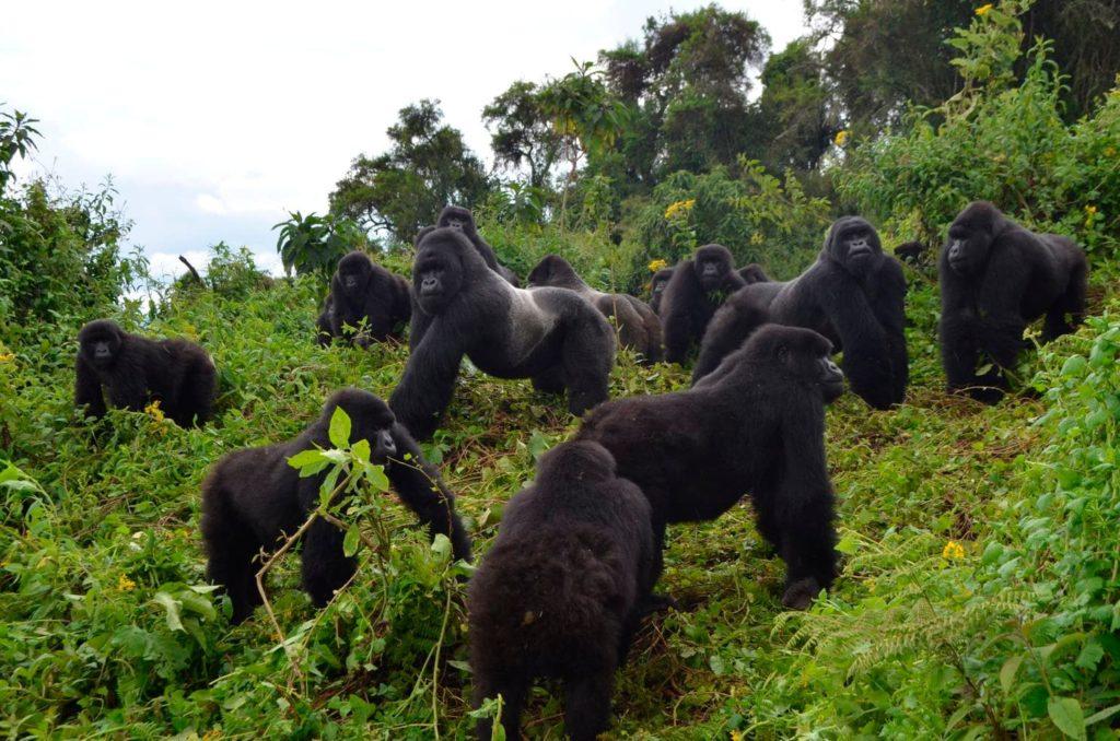 Best ways to conserve mountain gorillas