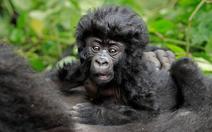 Bwindi Gorilla Trekking in Uganda