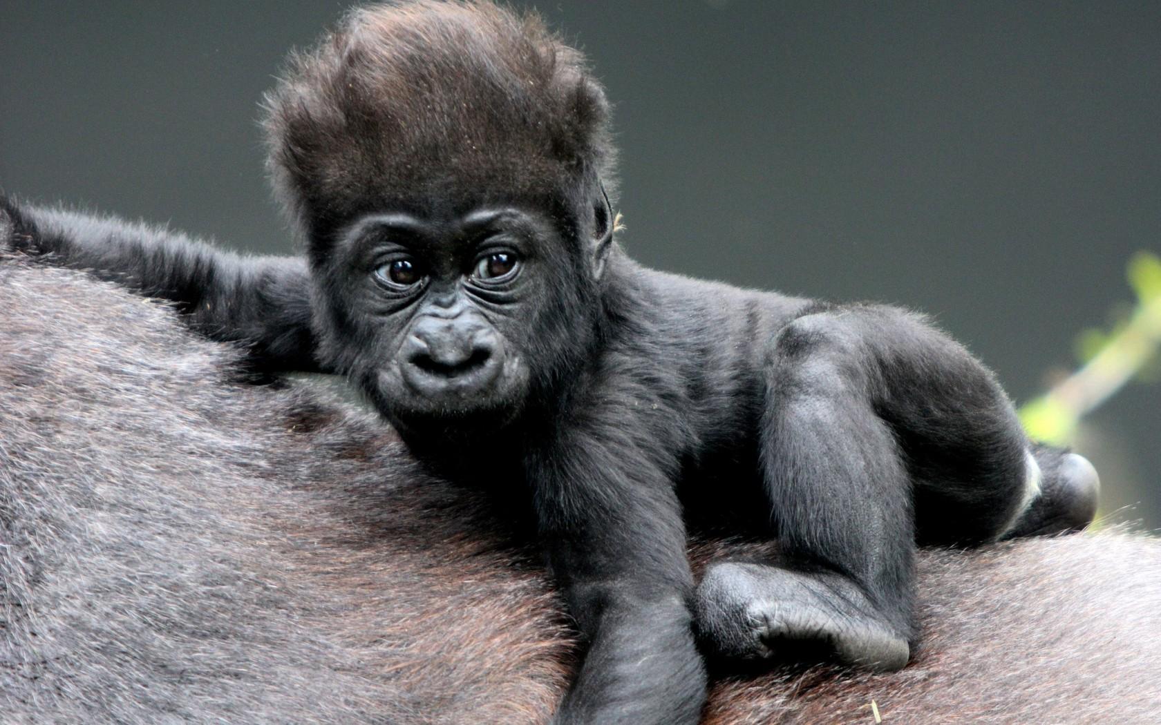 young gorillas in congo
