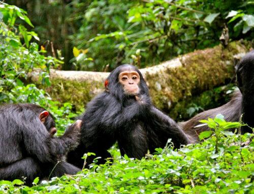 Best time for Chimpanzee Trekking Kibale National Park