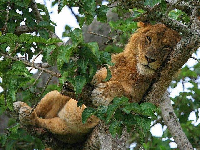 tree climbing lions in Queen Elizabeth National Park Uganda