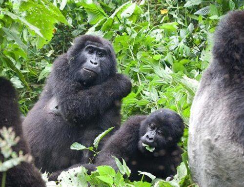 How safe is Gorilla Trekking in Rwanda?