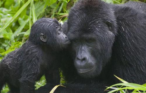 3 Days Uganda gorilla trek