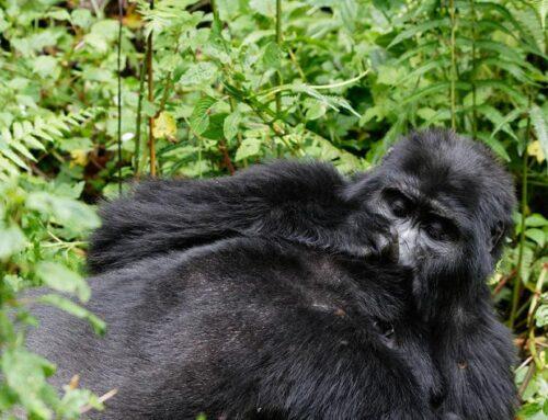 Gorilla Trekking Rules and Regulations Uganda