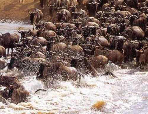 Masai Mara Wildebeest Migration Kenya