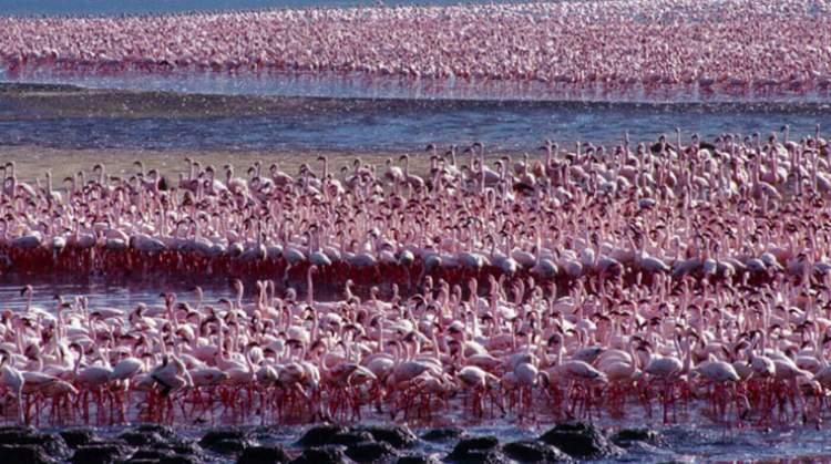 Flamingos in Kenya - Lake Bogoria
