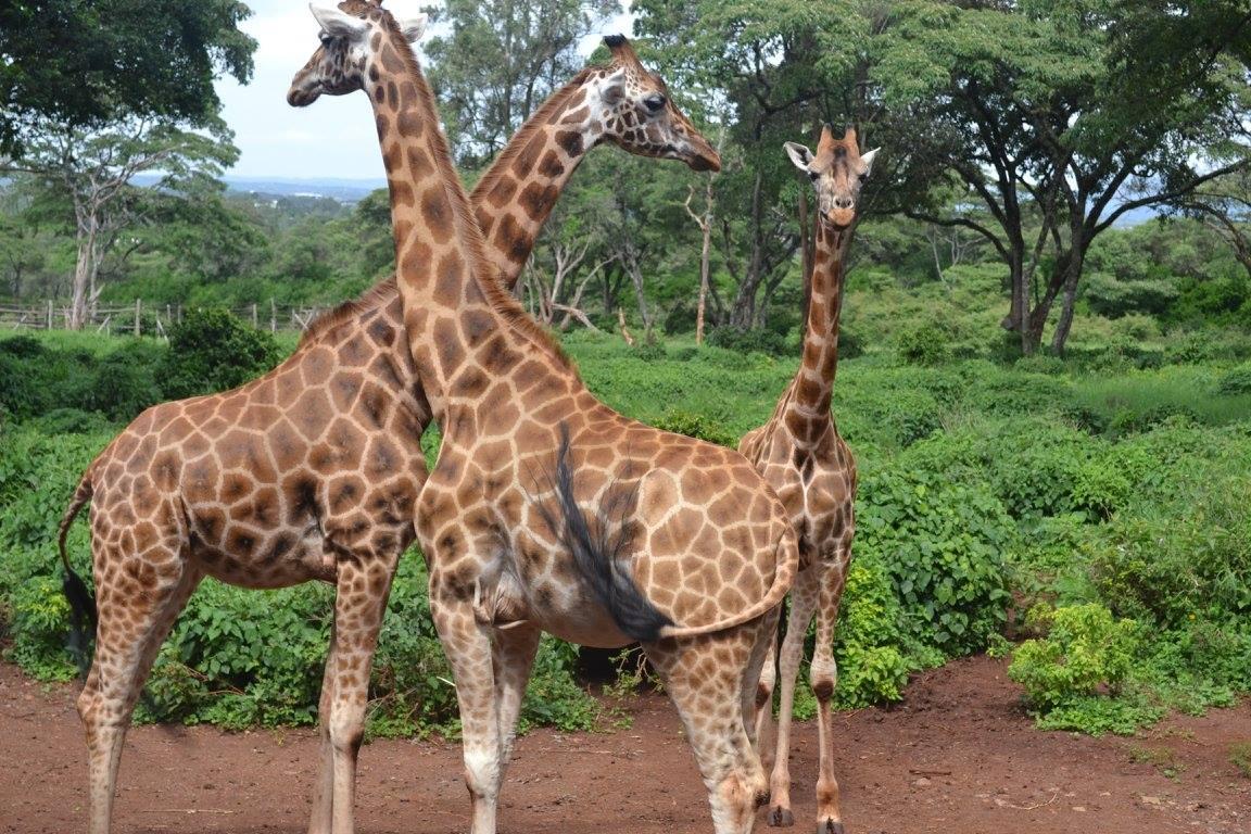 Giraffe Manor and Giraffe Centre Kenya