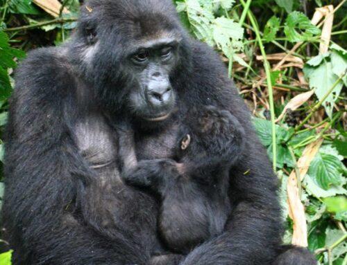 Gorilla 'Baby Boom' in Bwindi Impenetrable National Park Uganda