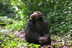 Chimpanze in kyambura gorge