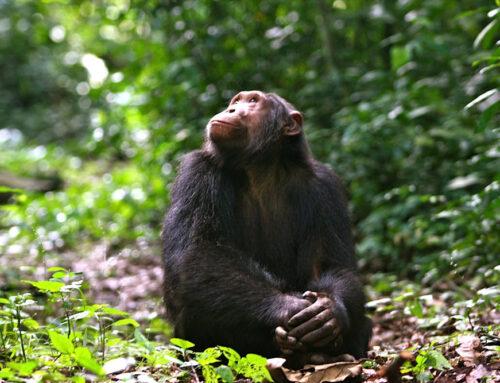 Chimpanzee Trekking in Kyambura Gorge – Queen Elizabeth National Park