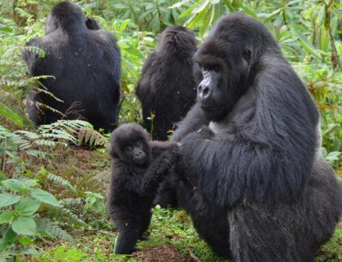 Rwanda gorilla trekking 2021-Gorilla Tours in Rwanda