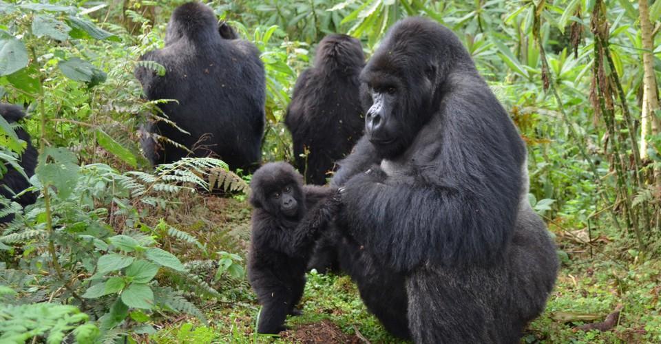 Rwanda gorilla trekking in 2021