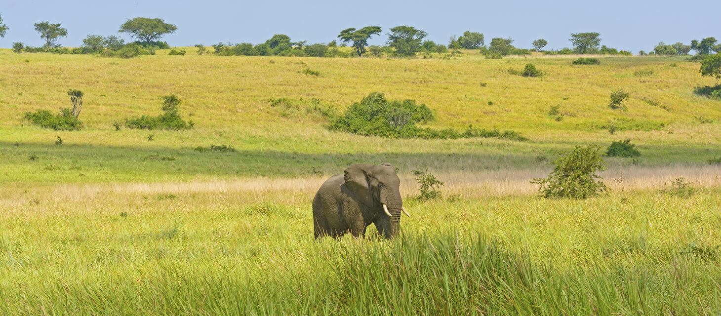 African elephant in Queen Elizabeth National park