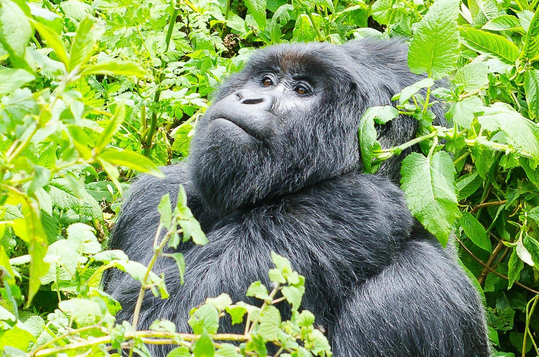 Gorillas in Mgahinga Gorilla National Park