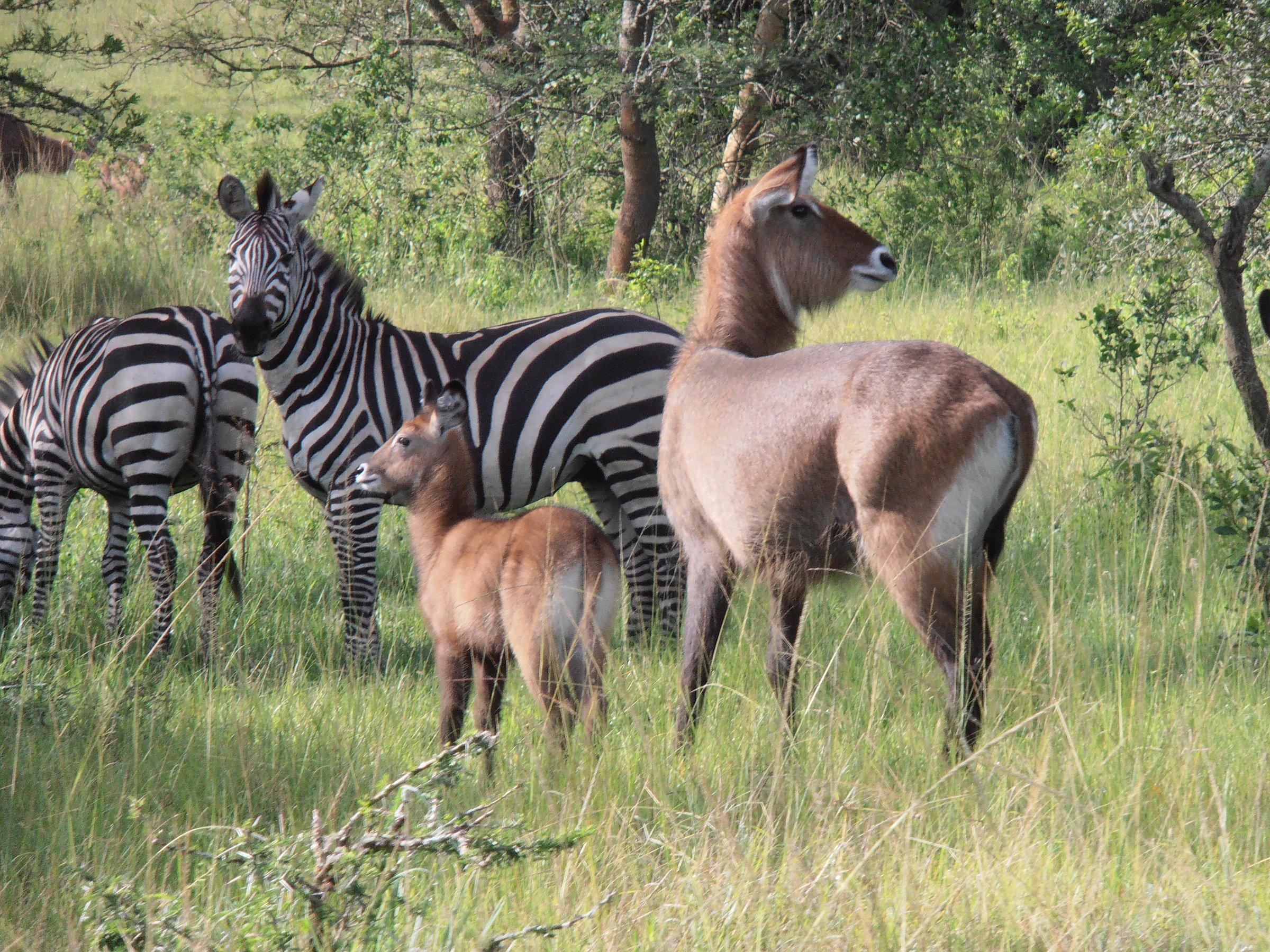 Wildlife viewing in Lake Mburo National Park