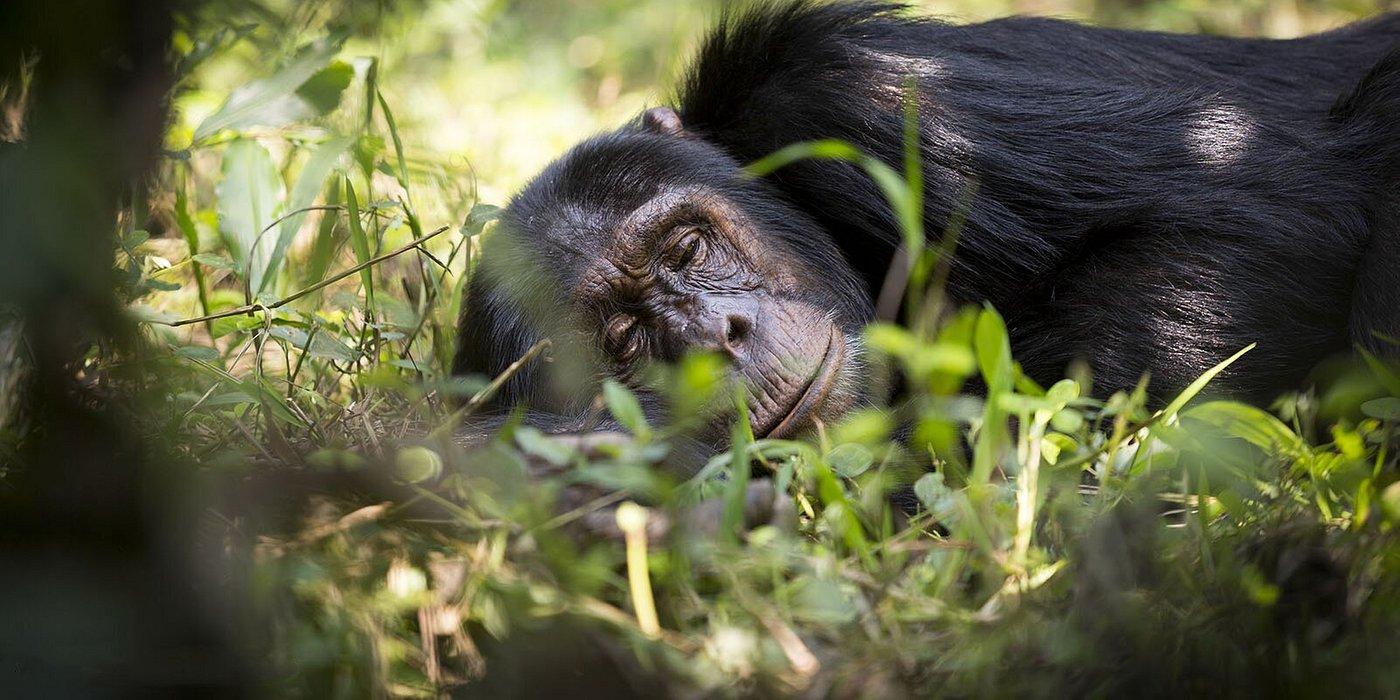 Chimpanzee trekking in Kibale Forest National Park