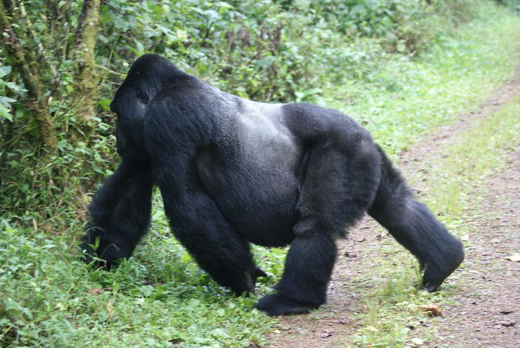 Silverback Gorilla in Bwindi Forest Park