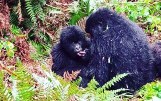 Trekking Gorillas in Mgahinga Gorilla National Park