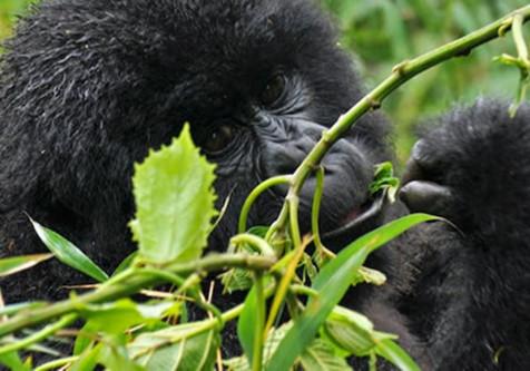 rwanda-gorilla (1)