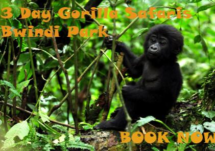 uganda_gorilla_forest_camp_-_gorilla